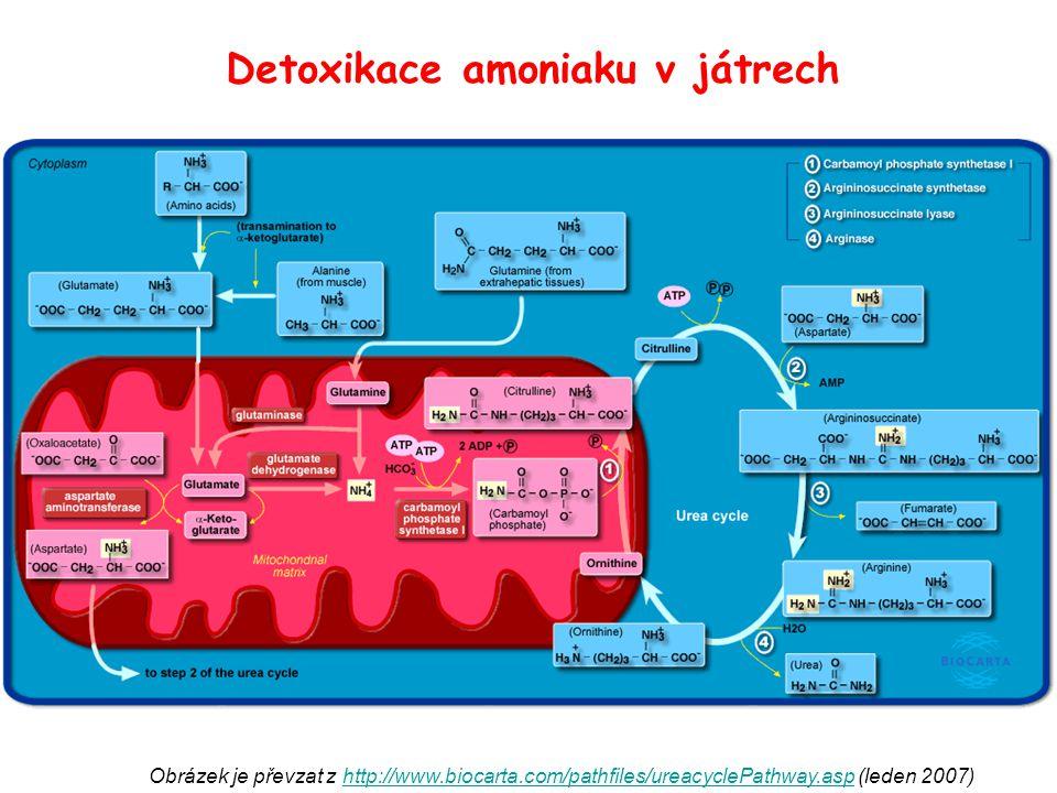 Obrázek je převzat z http://www.biocarta.com/pathfiles/ureacyclePathway.asp (leden 2007)http://www.biocarta.com/pathfiles/ureacyclePathway.asp Detoxik