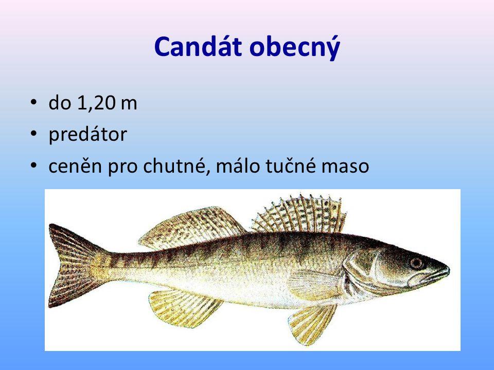 Candát obecný do 1,20 m predátor ceněn pro chutné, málo tučné maso