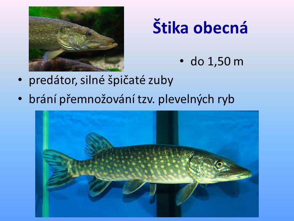 Štika obecná do 1,50 m predátor, silné špičaté zuby brání přemnožování tzv. plevelných ryb
