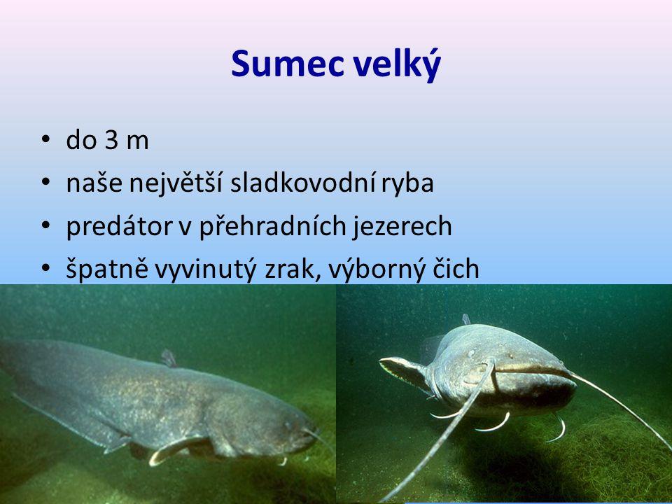 Sumec velký do 3 m naše největší sladkovodní ryba predátor v přehradních jezerech špatně vyvinutý zrak, výborný čich
