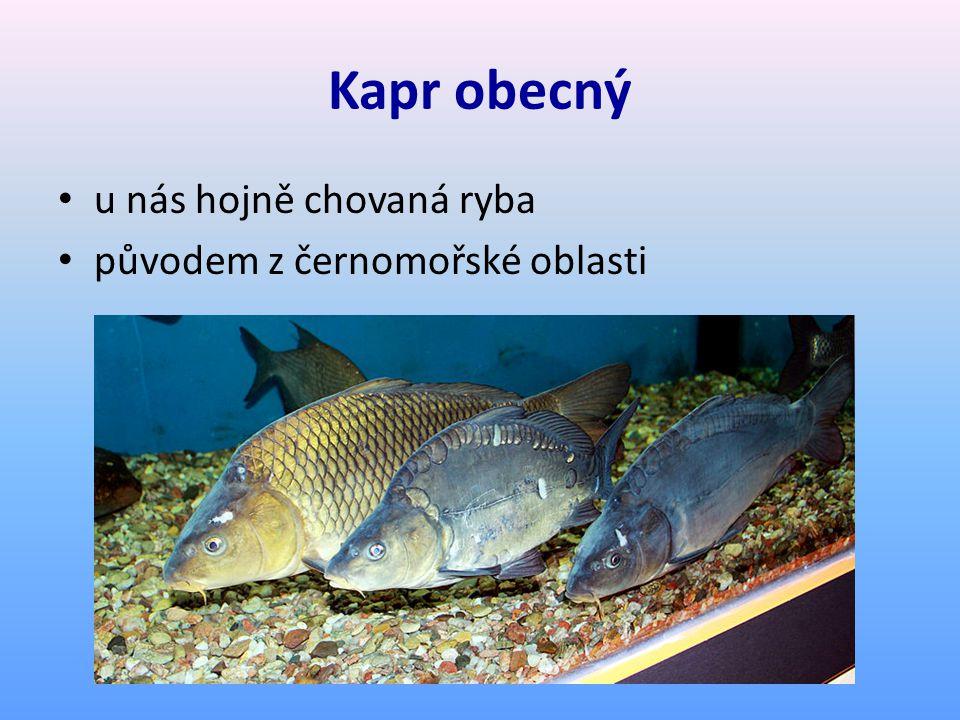 Kapr obecný u nás hojně chovaná ryba původem z černomořské oblasti