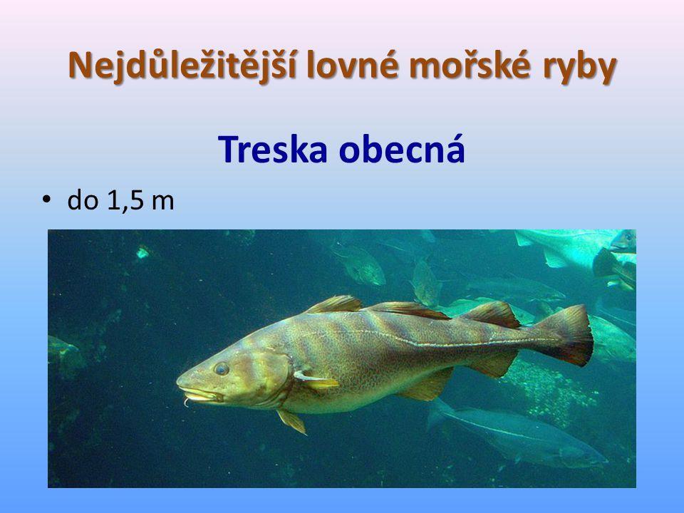 Nejdůležitější lovné mořské ryby Treska obecná do 1,5 m