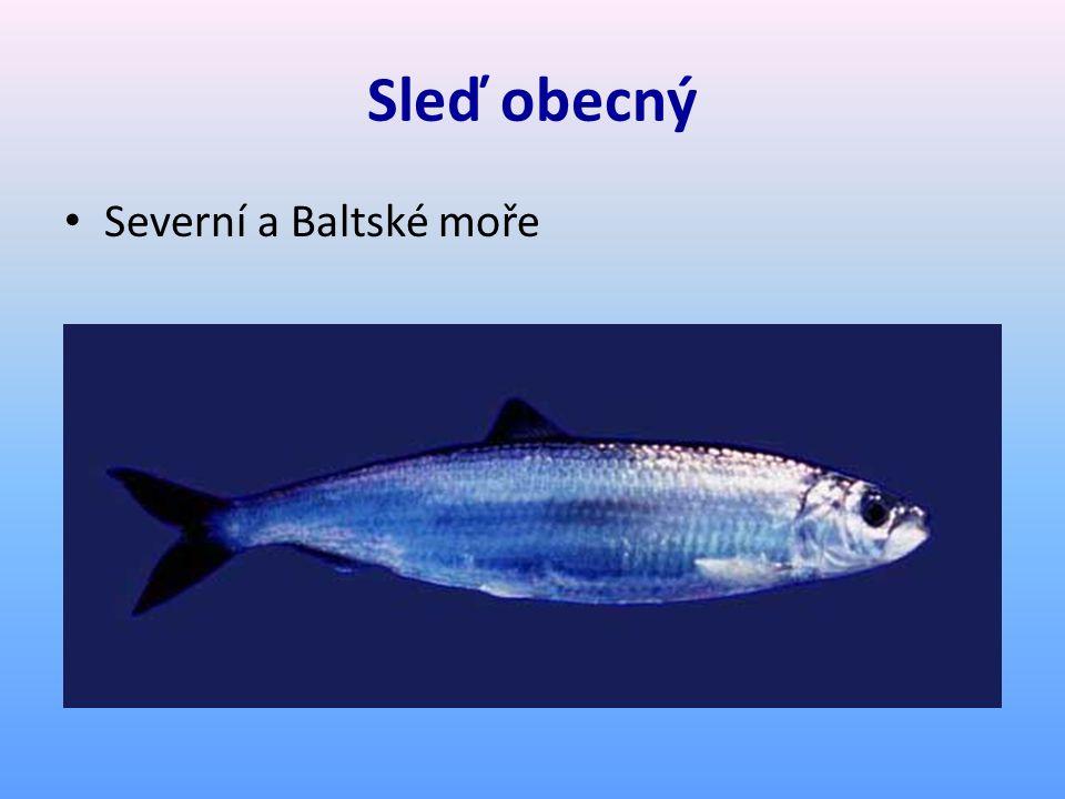 Sleď obecný Severní a Baltské moře