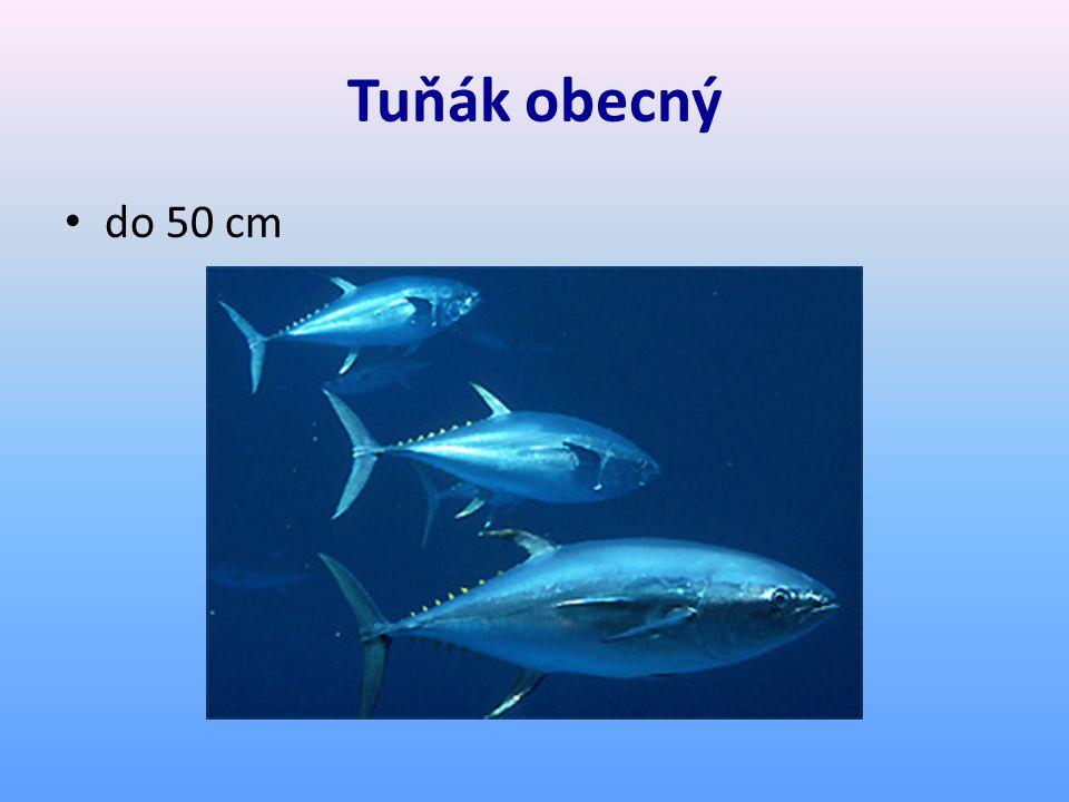 Tuňák obecný do 50 cm