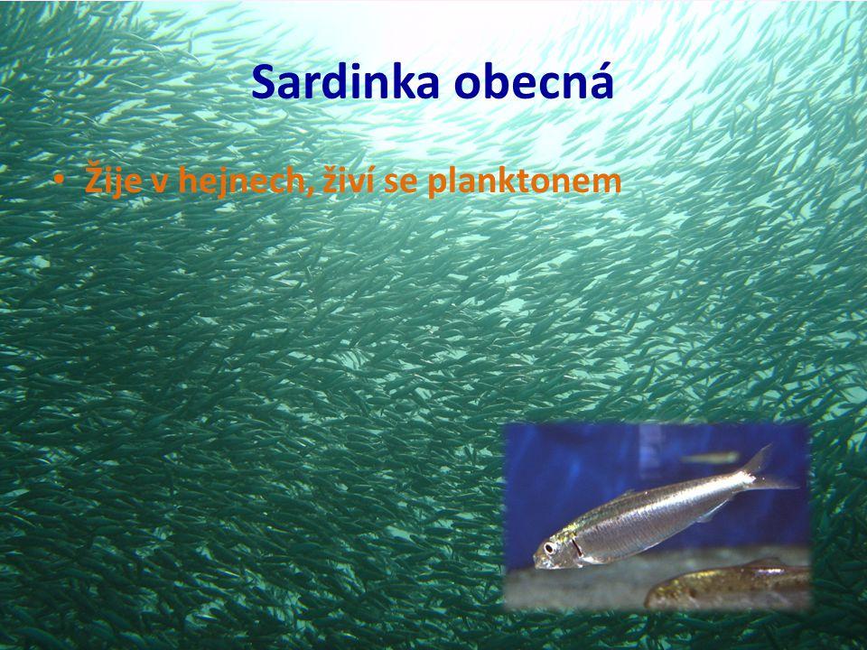 Sardinka obecná Žije v hejnech, živí se planktonem