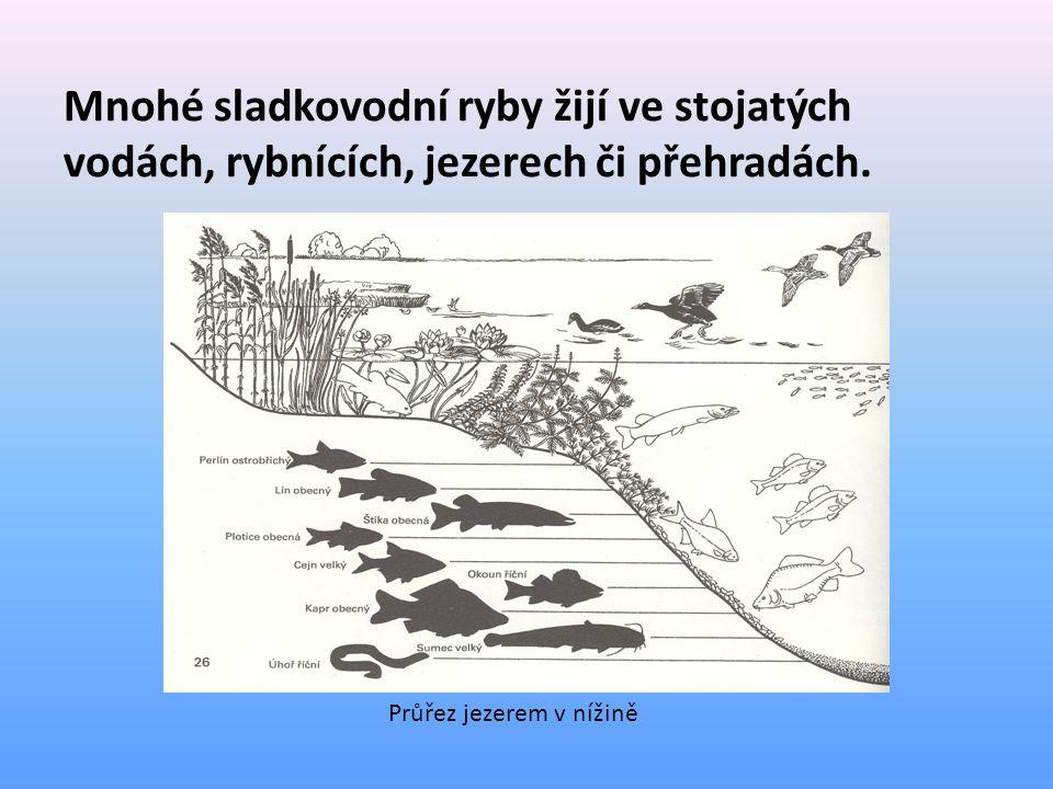 Mnohé sladkovodní ryby žijí ve stojatých vodách, rybnících, jezerech či přehradách. Průřez jezerem v nížině