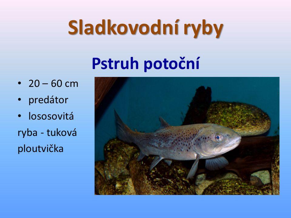 Sladkovodní ryby Pstruh potoční 20 – 60 cm predátor lososovitá ryba - tuková ploutvička