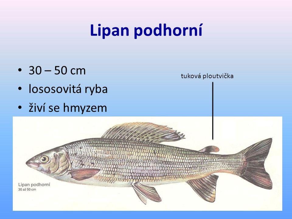 Lipan podhorní 30 – 50 cm lososovitá ryba živí se hmyzem tuková ploutvička