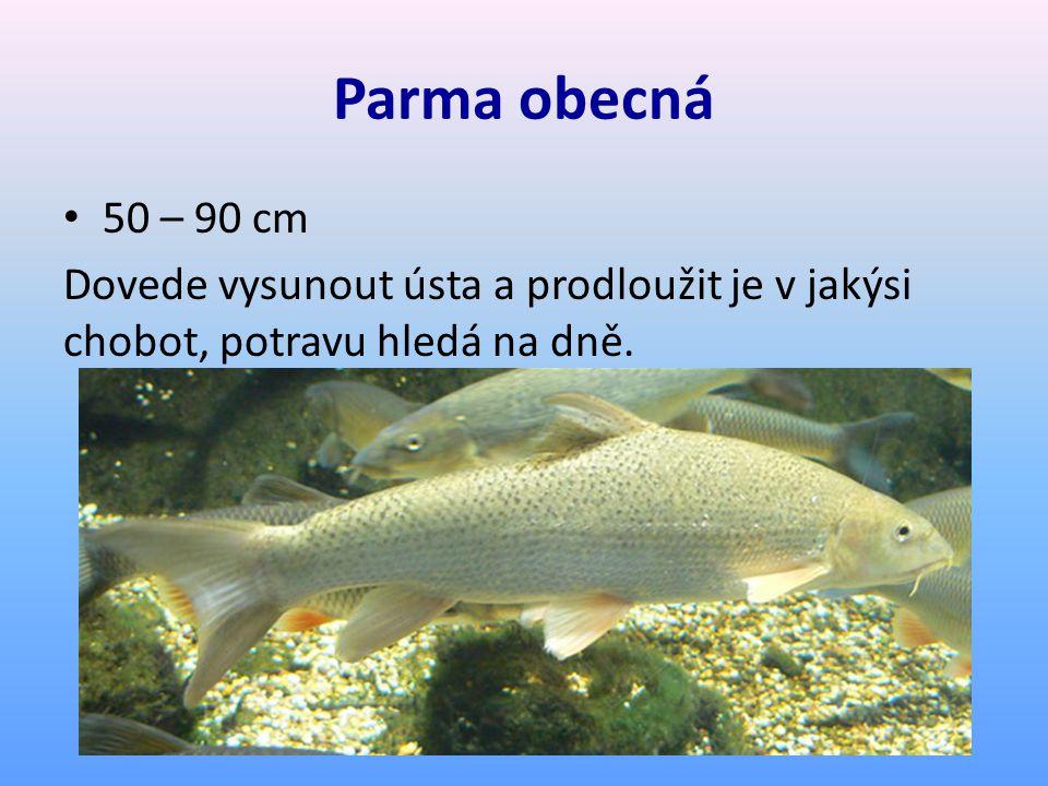 Parma obecná 50 – 90 cm Dovede vysunout ústa a prodloužit je v jakýsi chobot, potravu hledá na dně.