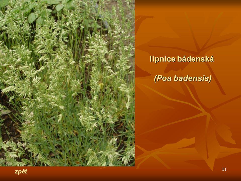 11 zpět lipnice bádenská (Poa badensis)