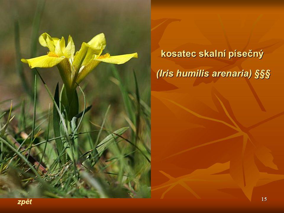 15 zpět kosatec skalní písečný (Iris humilis arenaria) §§§
