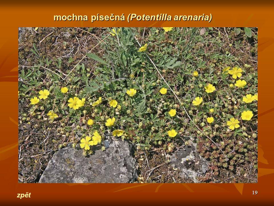 19 zpět mochna písečná(Potentilla arenaria) mochna písečná (Potentilla arenaria)