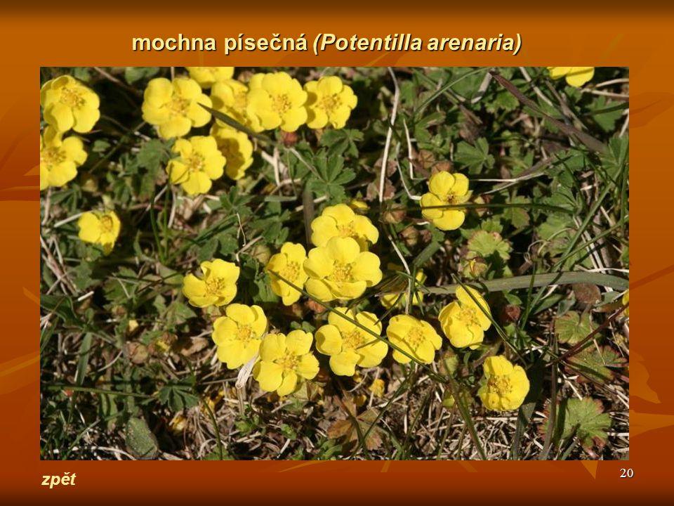 20 zpět mochna písečná(Potentilla arenaria) mochna písečná (Potentilla arenaria)