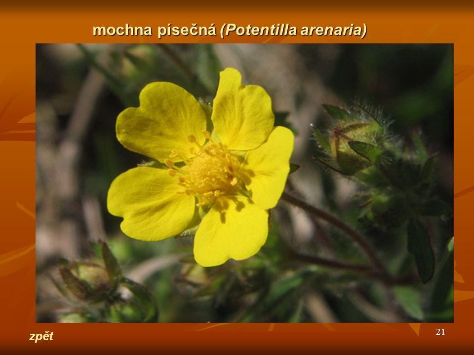 21 zpět mochna písečná(Potentilla arenaria) mochna písečná (Potentilla arenaria)