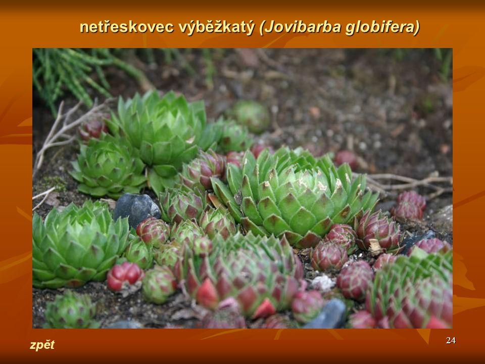 24 zpět netřeskovec výběžkatý(Jovibarba globifera) netřeskovec výběžkatý (Jovibarba globifera)