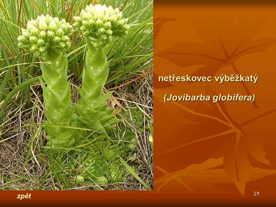25 zpět netřeskovec výběžkatý (Jovibarba globifera)