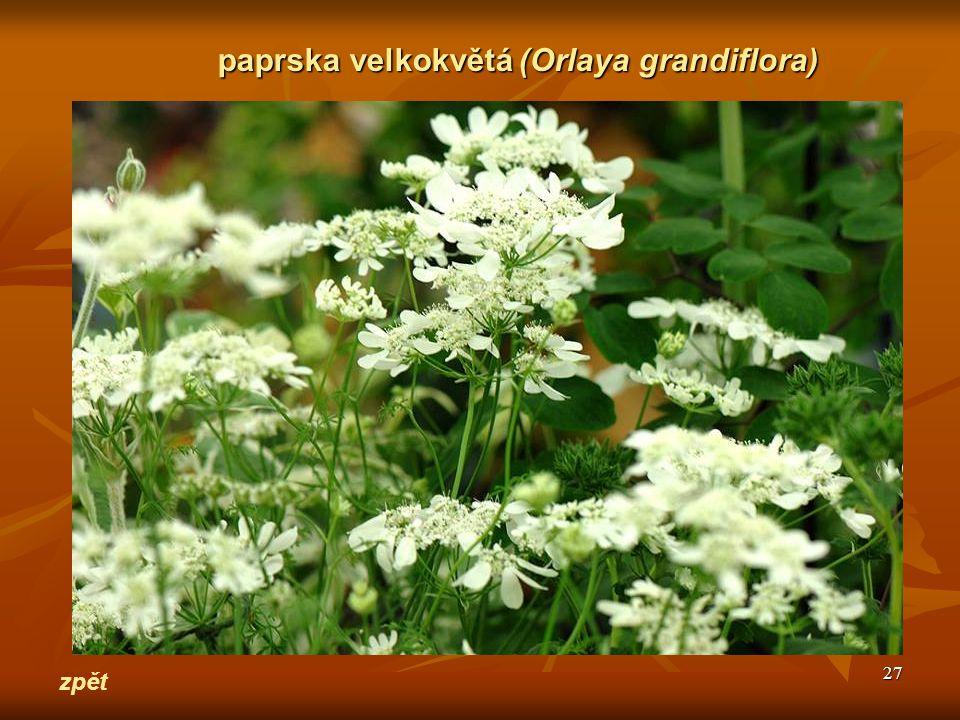 27 zpět paprska velkokvětá(Orlaya grandiflora) paprska velkokvětá (Orlaya grandiflora)
