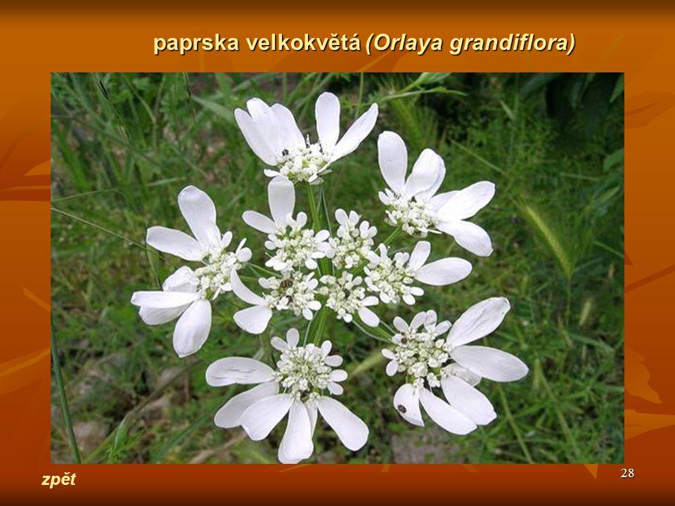 28 zpět paprska velkokvětá(Orlaya grandiflora) paprska velkokvětá (Orlaya grandiflora)