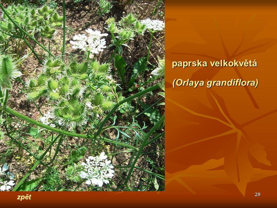 29 zpět paprska velkokvětá (Orlaya grandiflora)