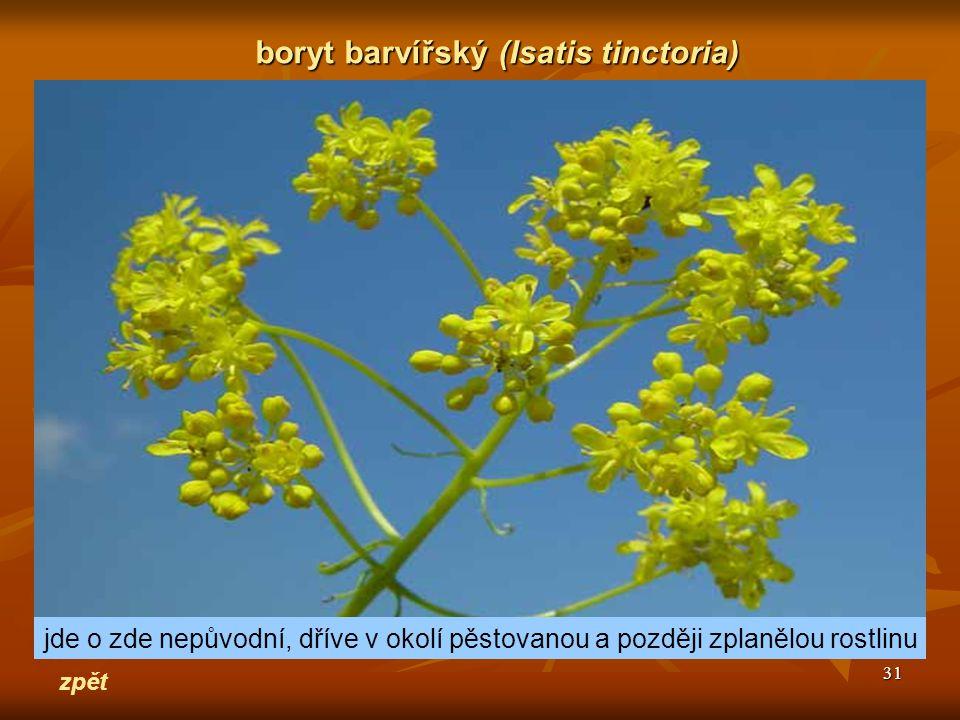 31 zpět boryt barvířský(Isatis tinctoria) boryt barvířský (Isatis tinctoria) jde o zde nepůvodní, dříve v okolí pěstovanou a později zplanělou rostlin