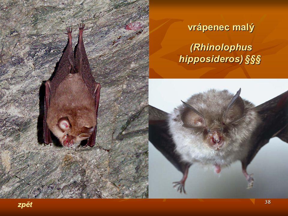 38 zpět vrápenec malý (Rhinolophus hipposideros) §§§