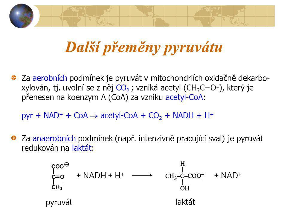 Další přeměny pyruvátu Za aerobních podmínek je pyruvát v mitochondriích oxidačně dekarbo- xylován, tj. uvolní se z něj CO 2 ; vzniká acetyl (CH 3 C=O