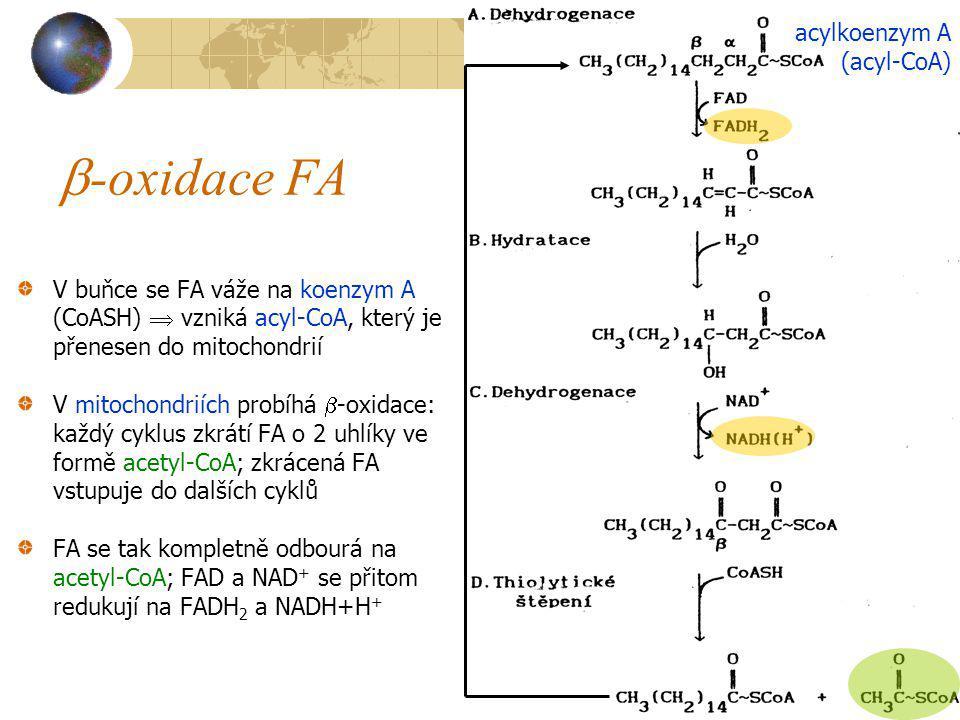  -oxidace FA V buňce se FA váže na koenzym A (CoASH)  vzniká acyl-CoA, který je přenesen do mitochondrií V mitochondriích probíhá  -oxidace: každý