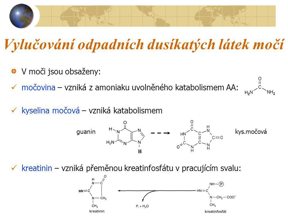 Vylučování odpadních dusíkatých látek močí V moči jsou obsaženy: močovina – vzniká z amoniaku uvolněného katabolismem AA: kyselina močová – vzniká kat