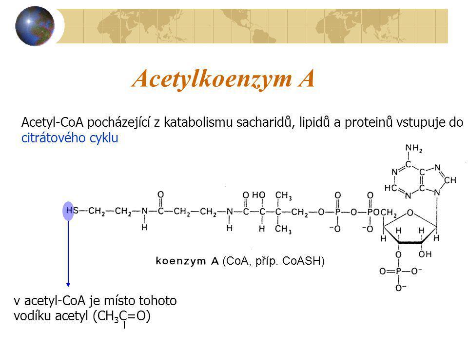 Acetylkoenzym A v acetyl-CoA je místo tohoto vodíku acetyl (CH 3 C=O) Acetyl-CoA pocházející z katabolismu sacharidů, lipidů a proteinů vstupuje do ci