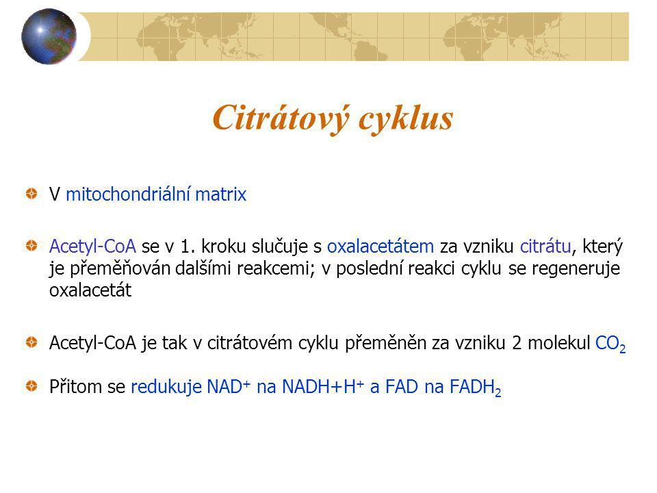 Citrátový cyklus V mitochondriální matrix Acetyl-CoA se v 1. kroku slučuje s oxalacetátem za vzniku citrátu, který je přeměňován dalšími reakcemi; v p