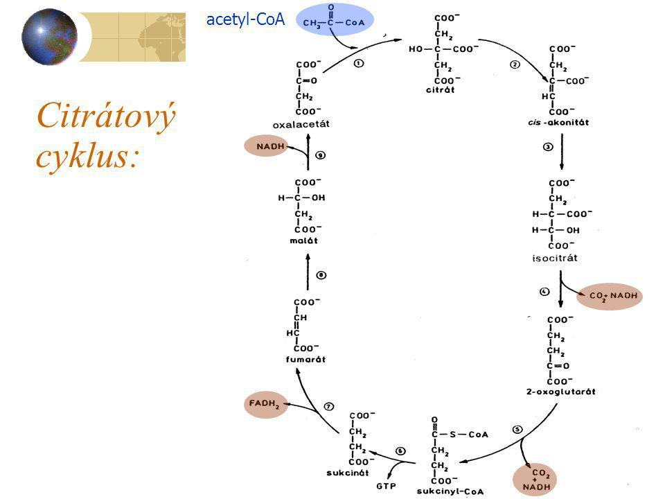 Citrátový cyklus: acetyl-CoA