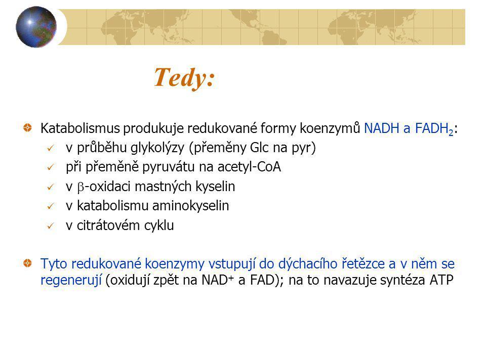 Tedy: Katabolismus produkuje redukované formy koenzymů NADH a FADH 2 : v průběhu glykolýzy (přeměny Glc na pyr) při přeměně pyruvátu na acetyl-CoA v 