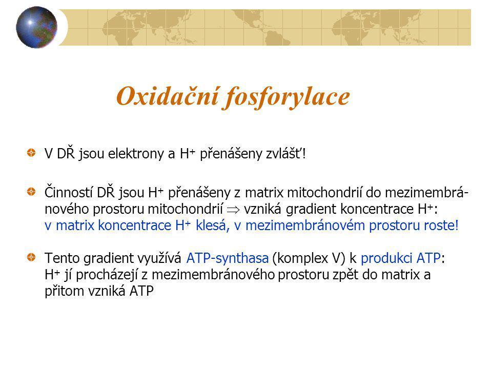 Oxidační fosforylace V DŘ jsou elektrony a H + přenášeny zvlášť! Činností DŘ jsou H + přenášeny z matrix mitochondrií do mezimembrá- nového prostoru m