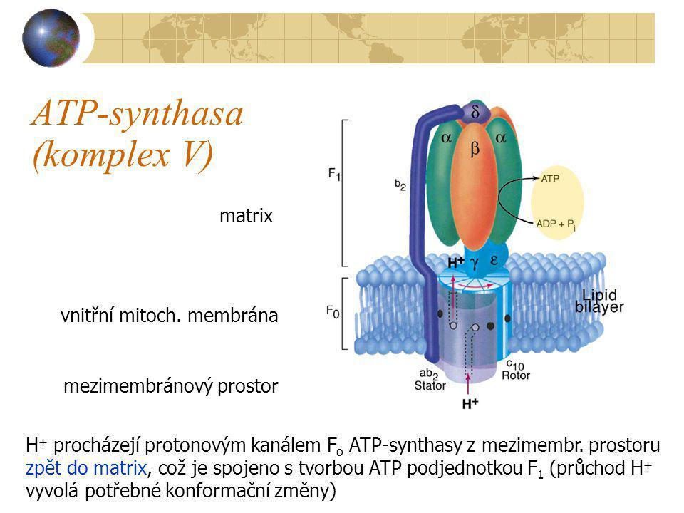 ATP-synthasa (komplex V) matrix mezimembránový prostor vnitřní mitoch. membrána H + procházejí protonovým kanálem F o ATP-synthasy z mezimembr. prosto