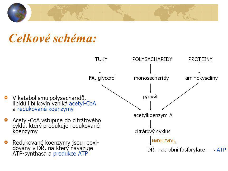 Celkové schéma: V katabolismu polysacharidů, lipidů i bílkovin vzniká acetyl-CoA a redukované koenzymy Acetyl-CoA vstupuje do citrátového cyklu, který