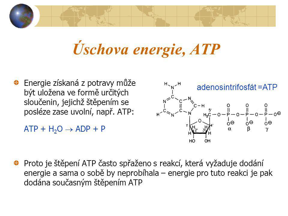 Úschova energie, ATP Energie získaná z potravy může být uložena ve formě určitých sloučenin, jejichž štěpením se posléze zase uvolní, např. ATP: ATP +