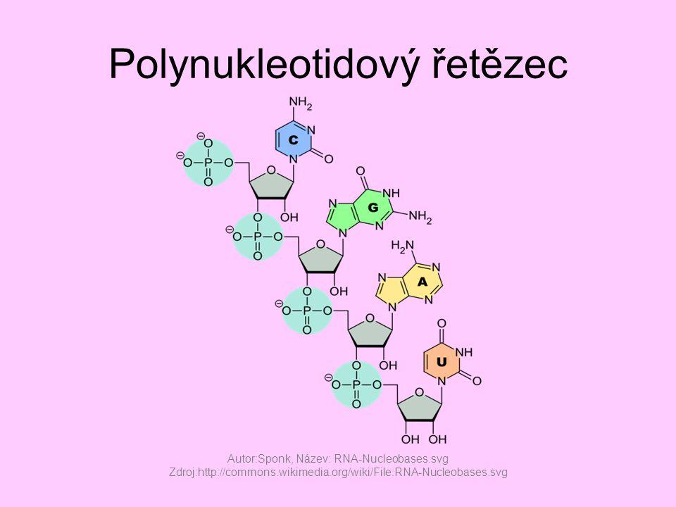 Polynukleotidový řetězec Autor:Sponk, Název: RNA-Nucleobases.svg Zdroj:http://commons.wikimedia.org/wiki/File:RNA-Nucleobases.svg