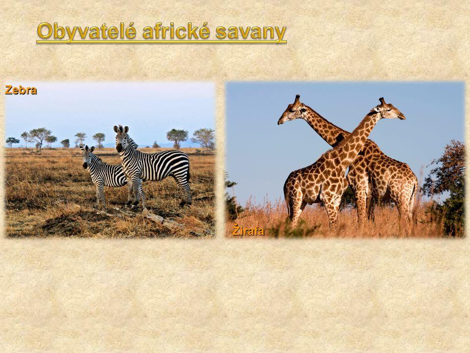 Zebra Žirafa