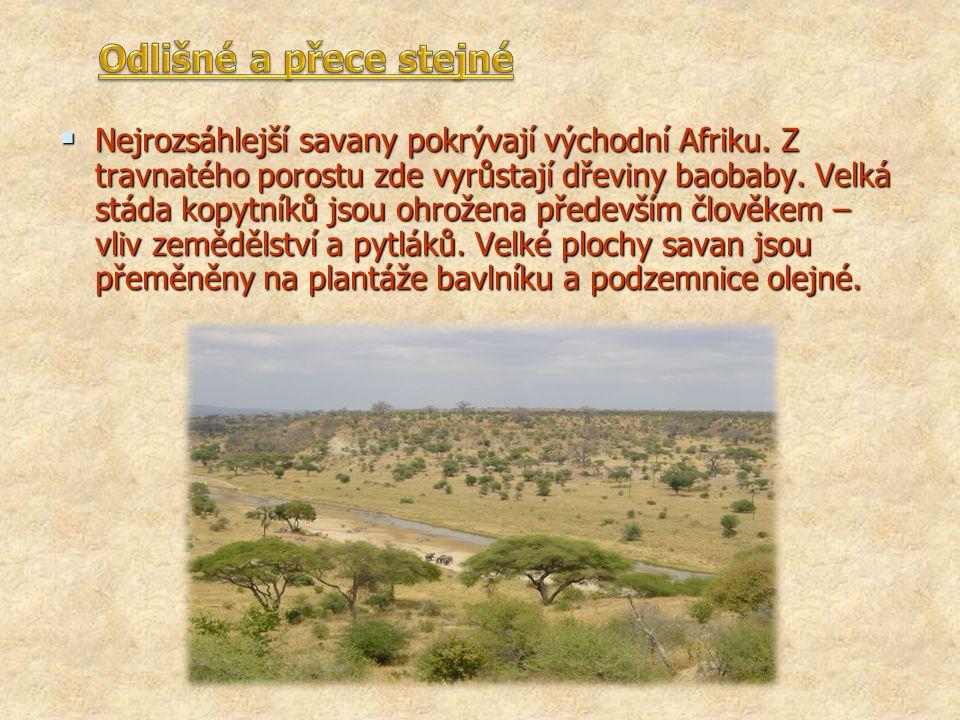  Nejrozsáhlejší savany pokrývají východní Afriku. Z travnatého porostu zde vyrůstají dřeviny baobaby. Velká stáda kopytníků jsou ohrožena především č