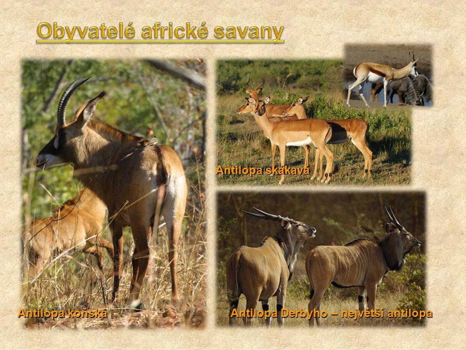 Antilopa koňská Antilopa skákavá Antilopa Derbyho – největší antilopa