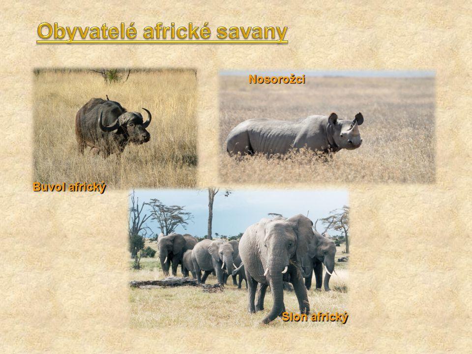 Buvol africký Slon africký Nosorožci