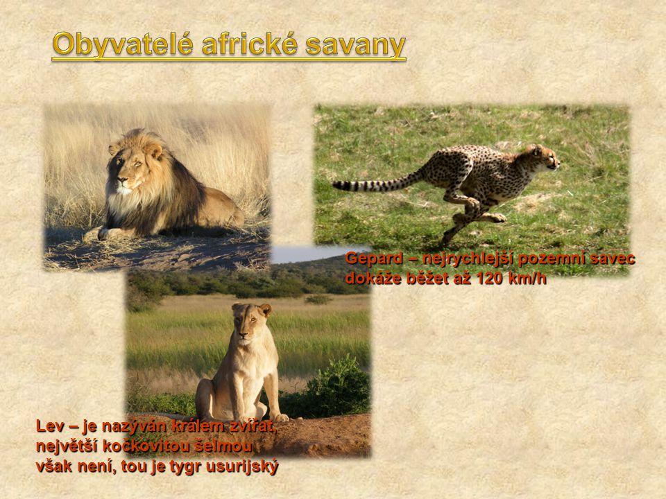 Gepard – nejrychlejší pozemní savec dokáže běžet až 120 km/h Lev – je nazýván králem zvířat, největší kočkovitou šelmou však není, tou je tygr usurijs