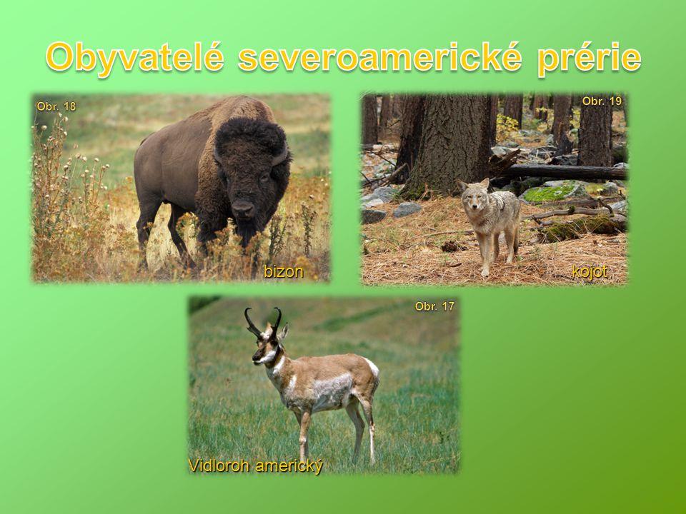 Vidloroh americký bizonkojot