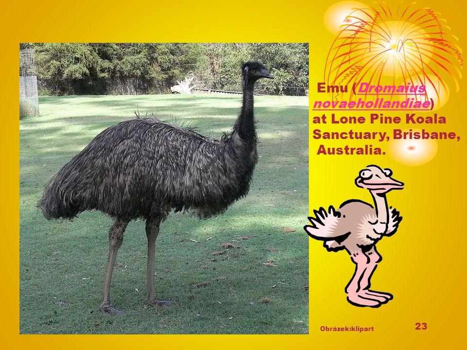 23 Emu (Dromaius novaehollandiae)Dromaius novaehollandiae at Lone Pine Koala Sanctuary, Brisbane, Australia. Obrázek:klipart