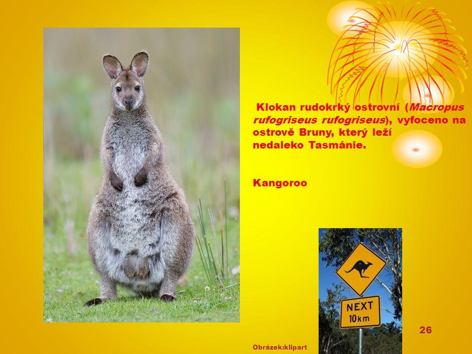 26 Klokan rudokrký ostrovní (Macropus rufogriseus rufogriseus), vyfoceno na ostrově Bruny, který leží nedaleko Tasmánie. Kangoroo Obrázek:klipart