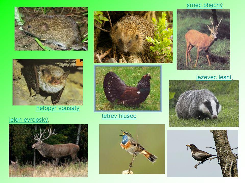 netopýr vousatý jelen evropskýjelen evropský, srnec obecný jezevec lesníjezevec lesní, tetřev hlušec