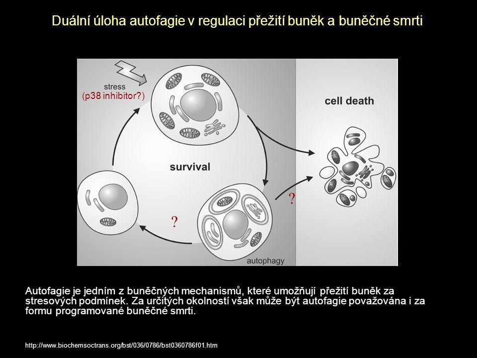 Duální úloha autofagie v regulaci přežití buněk a buněčné smrti Autofagie je jedním z buněčných mechanismů, které umožňují přežití buněk za stresových