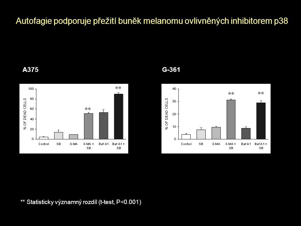 Autofagie podporuje přežití buněk melanomu ovlivněných inhibitorem p38 A375 G-361 ** Statisticky významný rozdíl (t-test, P<0.001) **