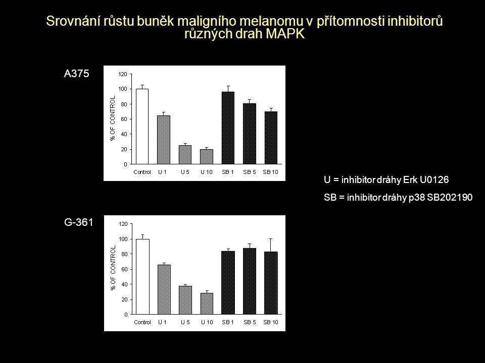 Srovnání růstu buněk maligního melanomu v přítomnosti inhibitorů různých drah MAPK A375 G-361 U = inhibitor dráhy Erk U0126 SB = inhibitor dráhy p38 S
