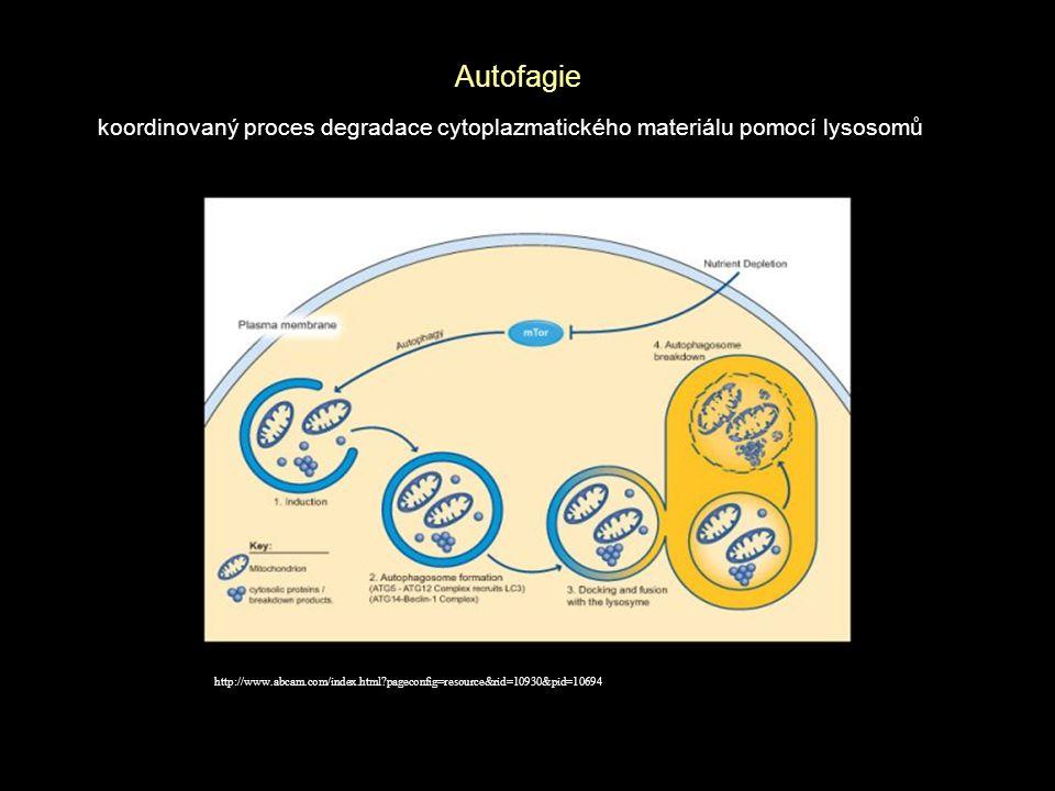 Závěr * Inhibice dráhy p38 MAPK inhibitorem SB202190 vede k indukci autofagie v buňkách maligního melanomu * Současná inhibice p38 MAPK a autofagie může výrazně snižovat přežití buněk maligního melanomu * Synergní účinek je pozorován i po působení kombinace inhibitorů p38 MAPK a kináz rodiny PI3K, jež jsou v buňkách maligního melanomu často aktivovány mutacemi a jsou považovány za vhodný cíl protinádorové terapie